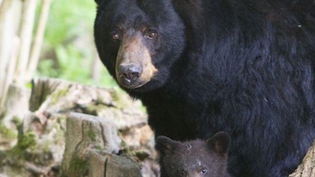"Attention, l'hiver sera très froid selon ""Météo ours Thoiry"" !"