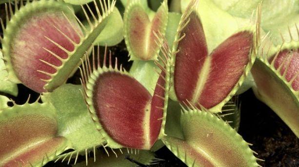Les plantes carnivores savent compter jusqu'à cinq