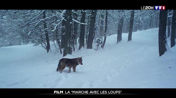 "Film : Jean-Michel Bertrand ""Marche avec les loups"""