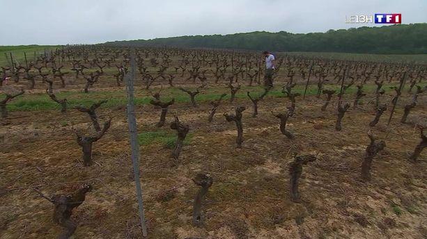 Jura : les vignes ont souffert du gel