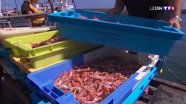 La Bretagne en pleine saison des langoustines