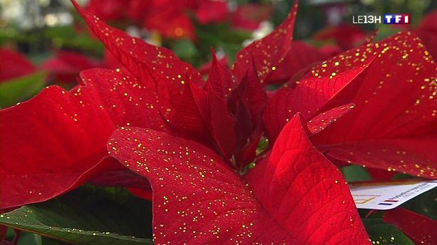 Image Fleur Noel.Le Poinsettia La Fleur Star De Noel