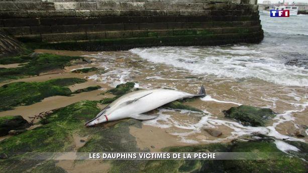 Les dauphins victimes de la pêche