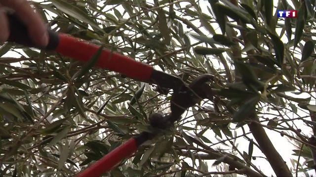 comment r ussir bien tailler les branches des oliviers lci. Black Bedroom Furniture Sets. Home Design Ideas